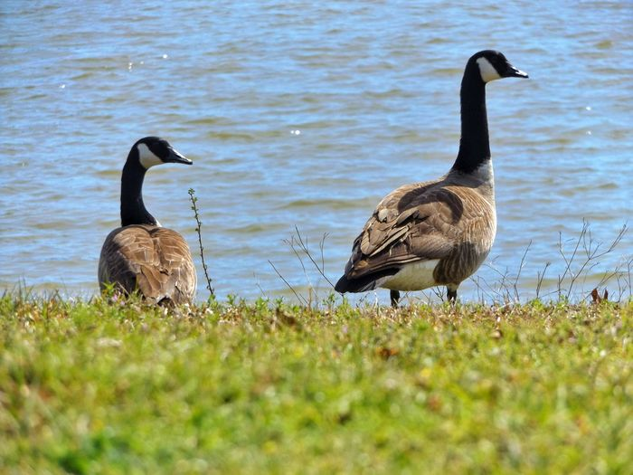 Showcase March Geese Geese Photography Geese At The Lake Birds Migratory Birds Lakeshore Beautiful Nature