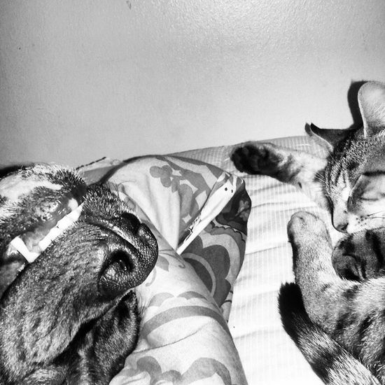 Sweet Dreams My little Fur Babies Sweetdreams  Blackandwhite Whatbigteethyouhave DSH Apbt Pitbull Dontbullymybreed KnockedOut Closeup Furbabies Petsofig Kittycat How Howtheygetdown PearlyWhites Nose Cozy Sweetdreams