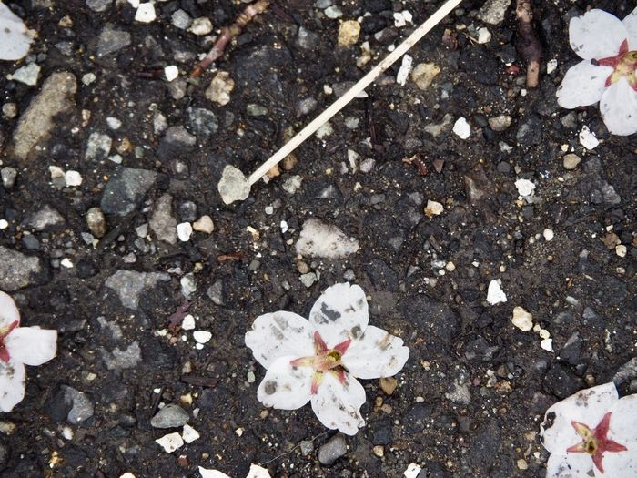 Fallen Flower Flowering Plant Freshness High Angle View Fragility White Color Beauty In Nature No People Petal Nature Plant Vulnerability  Day Close-up Springtime Outdoors Blossom