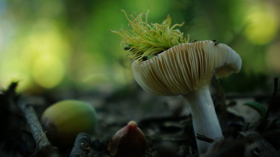 Acorn Autumn Autumn Collection Beauty In Nature Bokeh Botany Close-up Day Focus On Foreground Fragility Freshness Fungus Growing Growth Mushroom Natural Pattern Nature No People Non-urban Scene Outdoors Plant Life Toadstool Tranquility Uncultivated Vegetable