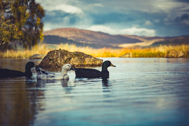 Duck swimming in lake against sky during sunset