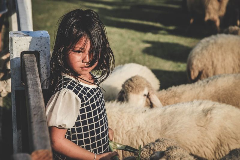 High angle view of girl standing by sheep
