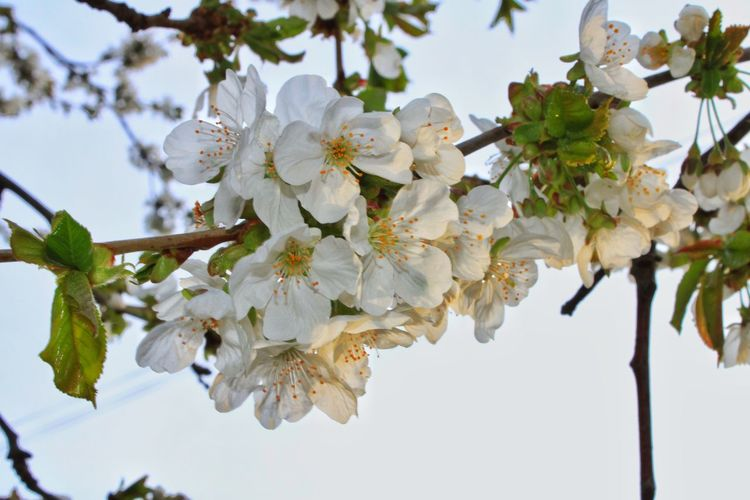 Close-up of white cherry blossoms against sky