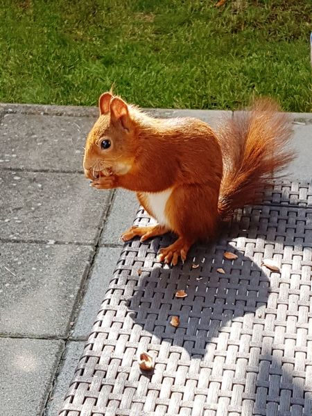 Squirrel Redsquirrel Animallove Eichhörnchen Nut Rodent Mammal Nature No People Animals In The Wild Outdoors
