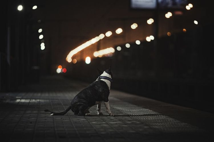 Dog on the road at night