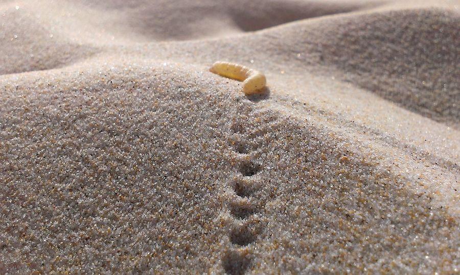 Nature's Diversities Caterpillar Sand Dune Wild EyeEm Best Shots Chenille Sand Lacanau France Breathing Space The Week On EyeEm