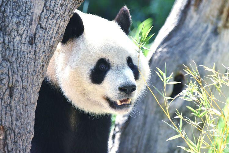 Close-up of panda bear