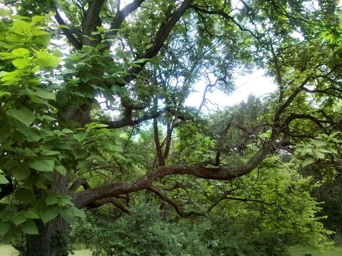 Tree Heart Leaves Green