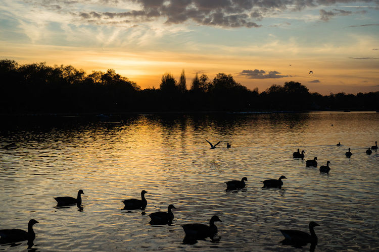 Silhouette at Hyde Park City Cityscape Clear Sky LONDON❤ London Nature Nature Photography Sunset Silhouettes Sunset_collection The Great Outdoors - 2018 EyeEm Awards Animal Wildlife Animals In The Wild Beauty In Nature Group Of Animals Hydepark Lake Large Group Of Animals London_only Nature Nature Photographer Nature_collection Naturelovers Sky Sunset Sunset #sun #clouds #skylovers #sky #nature #beautifulinnature #naturalbeauty #photography #landscape The Great Outdoors - 2018 EyeEm Awards