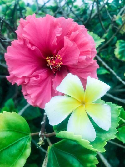Hibiscus Flower Pulmeria Flowering Plant Flower Fragility Plant Vulnerability  Petal Beauty In Nature Plant Part Day Focus On Foreground Pink Color Nature Flower Head Close-up No People Inflorescence Freshness Growth Pollen Leaf