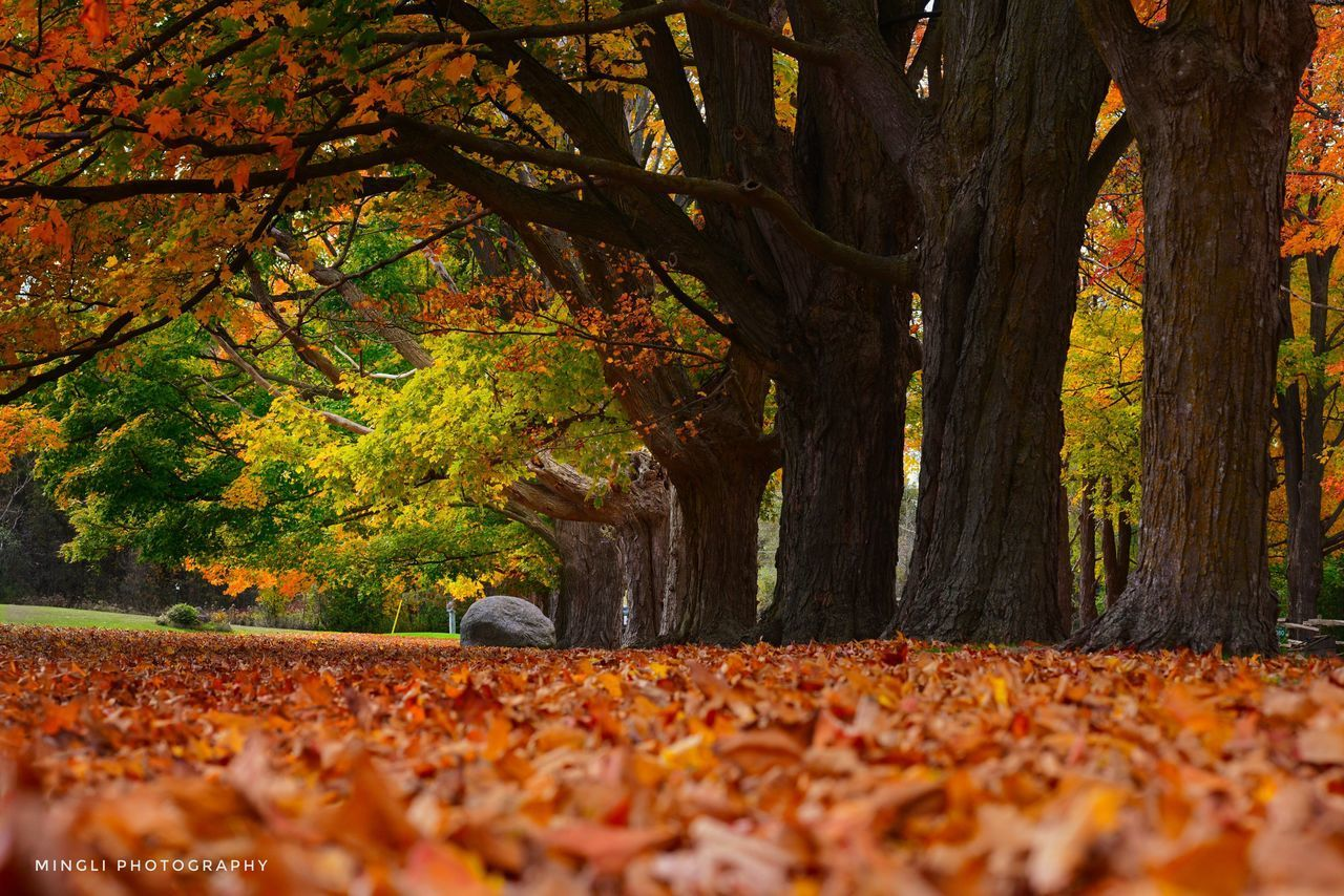tree, autumn, change, plant, plant part, leaf, nature, orange color, trunk, land, tree trunk, beauty in nature, falling, day, leaves, park, tranquility, no people, selective focus, park - man made space, outdoors, autumn collection, surface level, fall, natural condition