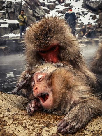Monkey Snow Monkey Japanese Macaque Onsen Hot Springs Jigokudani Spa Nagano Japan Yawn Iphone 5
