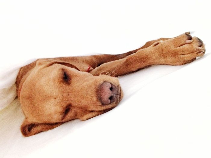 A pampered pet dog or puppy laying sleepily between crisp white sheets in a human bed. Dog Pets Mammal Domestic Animals One Animal Animal Themes Relaxation White Background Lying Down Sleeping Labrador Lazy Tired Pampered Pets Bed Sheets Puppy Sleepy Asleep Indoors  Relax Priveleged