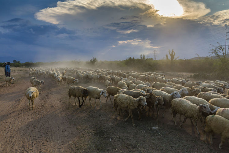 About the stables of the sheep Beauty In Nature Day Flock Of Sheep Large Group Of Animals Sheep Sky