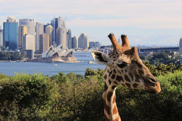 Giraffe in city against sky