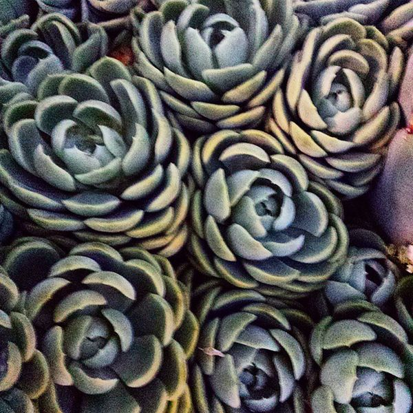 Plants Naturelovers Nature Nature_perfection California Succulents Cactus Sonoma Sonomacounty SucculentsLover