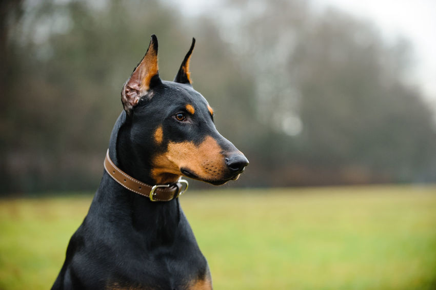 Doberman Pinscher dog Animal Themes Close-up Cropped Ears Day Doberman  Doberman Pinscher Dog Dog Photography Domestic Animals Field Focus On Foreground Grass Mammal No People One Animal Outdoors Pet Collar Pets Pinscher