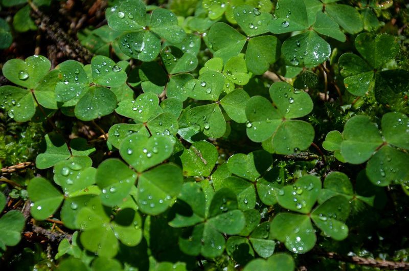 Water Drop Leaf Wet Plant Part Green Color Close-up Nature Freshness Rain Beauty In Nature High Angle View Purity Leaves Outdoors Dew Rainy Season Luck Lucky Shamrock Trefoil Cloverleaf RainDrop Growth Plant