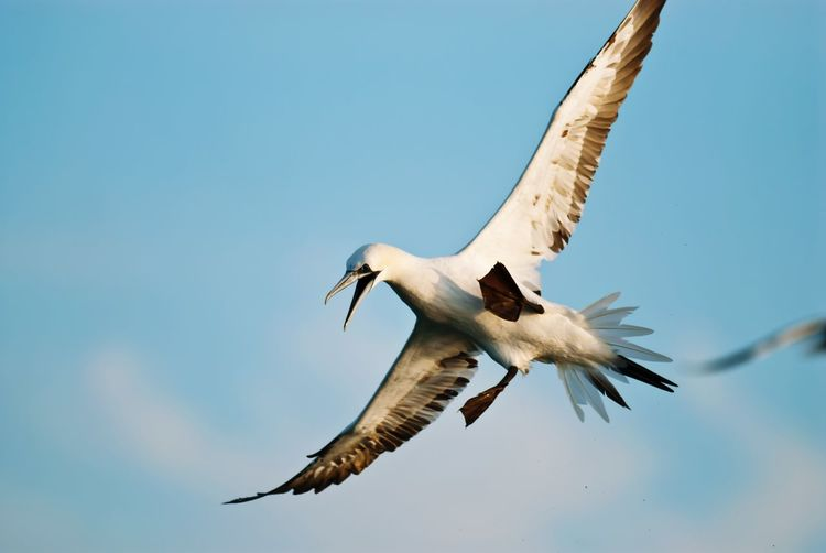 Low angle view of northern gannet flying