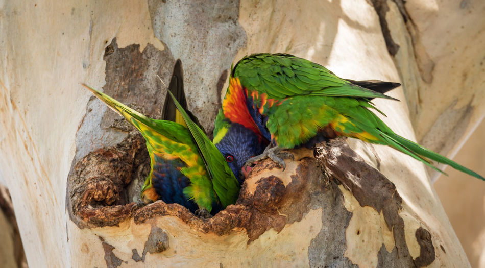 Close-up of rainbow lorikeets on tree hollow