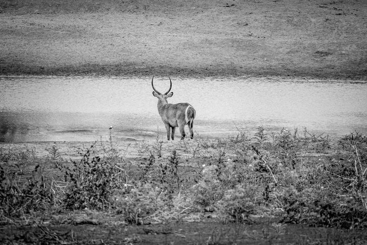 Waterbuck standing by the water in black and white in the Kruger National Park, South Africa. Nature Animal Animals In The Wild Wildlife Wildlife & Nature Nature Photography Africa African Safari Safari Animals Safari Beauty In Nature Travel Beautiful Nature Wildlife Photography Animals Animal Themes African Waterbuck Mammal Kruger Park Animal Wildlife Antelope Kobus Ellipsiprymnus Deer Horned