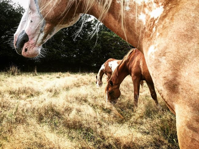 Domestic Animals Horse Animal Themes Field Outdoors Nature Painthorse Mammal No People First Eyeem Photo