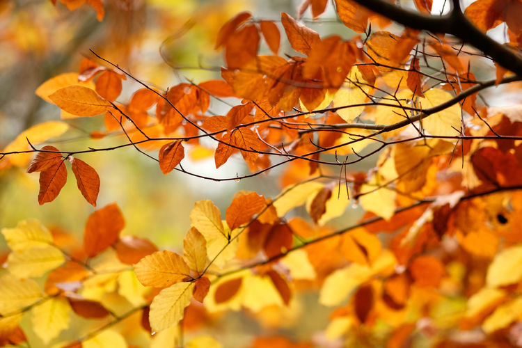 Close-up of autumnal leaves