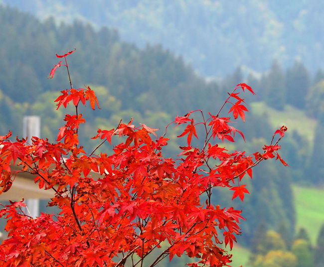 Close-up of red maple leaves against blurred background