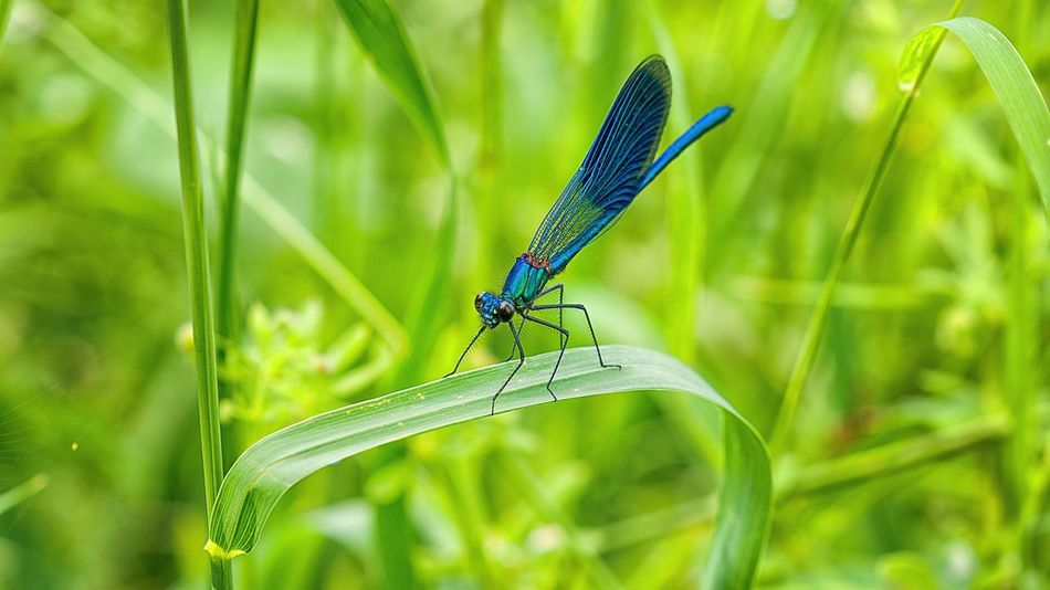Beauty in nature 😍 Green Color Blue Dragonfly Hu5ky Eyeemphotography Dragonfly Wildlife Wording Photography Love EyeEmNewHere Beauty Beautiful Libelle Insect Animal Themes One Animal Animals In The Wild Damselfly Green Color Outdoors Focus On Foreground Day Animal Wildlife Nature No People Grass Beauty In Nature Plant