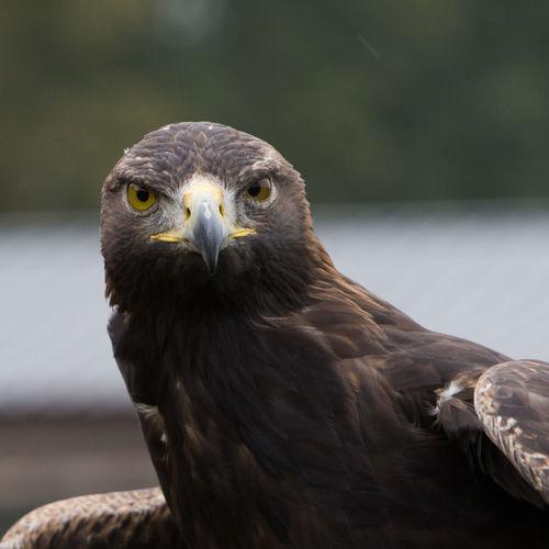 Close-up portrait of eagle