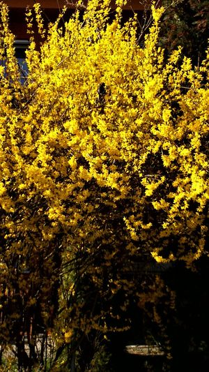 Beauty In Nature Forsythia Forsythia Blooms Forsythienblüten Growth Nature No People Outdoors Yellow