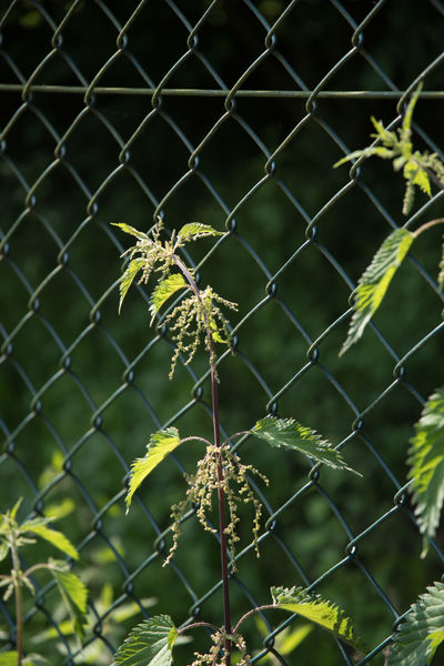Sunny day outside Close Up Day Fence Green Color Nature Outdoors Outdoors Photograpghy  Plants Stinging Nettles Summertime