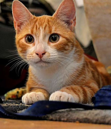 Domestic Cat Pets Feline Animal Portrait No People Whisker Looking At Camera Kitten Close-up Indoors  Bengalcrosskitten Ginger Beautiful Purrrrrrfect Perfection