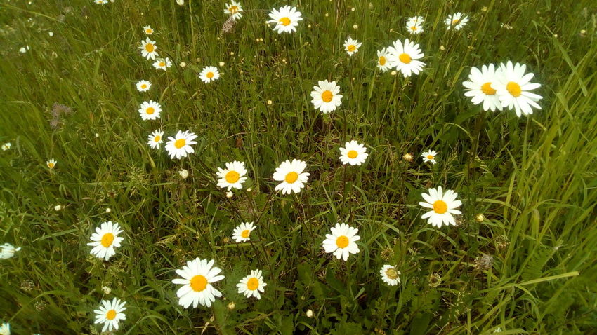 Flower Head Flower Petal Field Uncultivated Meadow Daisy White Color Grass Close-up