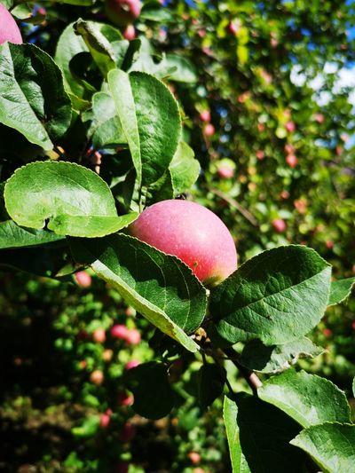 Tree Leaf Fruit