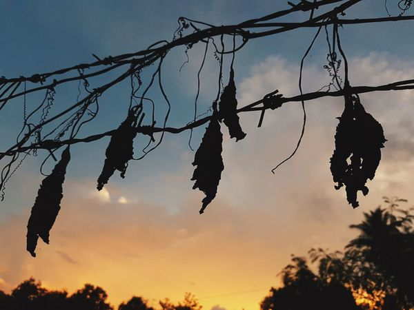 High up and dry. Sunset Silhouettes Silhouette S7Edgecamera S7edgephotography S7 Edge Photography Silouette & Sky Sky Hanging Nature No People Scenics Silhouette Branch Dramatic Sky Outdoors Beauty In Nature Close-up Day Withered  Withered Flower Withered Beauty Withered Plants Backgrounds Nature EyeemPhilippines Witheredleaves Withered Grass Withered Leaf