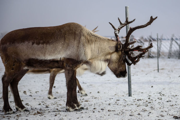 Reindeer trying to find out feed on snowy ground. Lapland Reindeer Sami Sweden Swedish Lapland Winter Animal Themes Countryside Mammal Nature No People One Animal Reindeer In Snow Winter There Winter Time