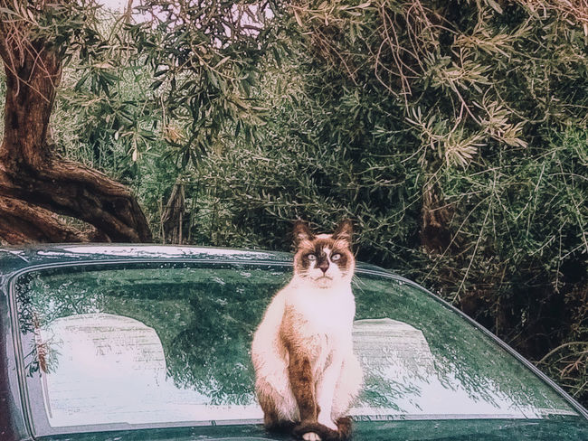 My Cat Confused Cat Outdoors Portrait Sitting No People Nature Day Car Tree Plant Vertebrate Domestic Animals Domestic Animal Pets Animal Themes One Animal Mammal Cat Lovers 🐱💞 Cat Cat Mood Eye Looking Up