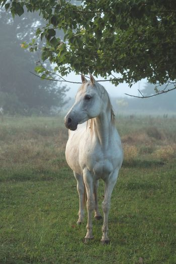White arab horse standing in a field