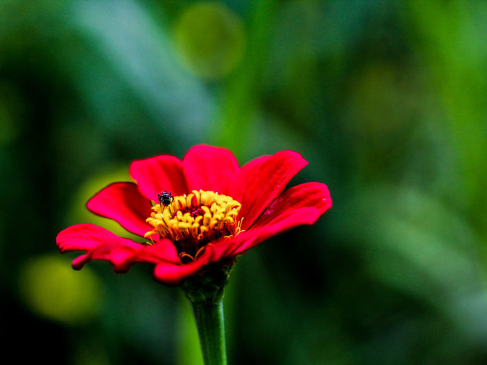 Red Flower with Bee Flower Head Zinnia  Flower Red Petal Pink Color Insect Close-up Animal Themes Plant Pollen Sunflower Coneflower Cosmos Flower Passion Flower Blooming In Bloom Osteospermum