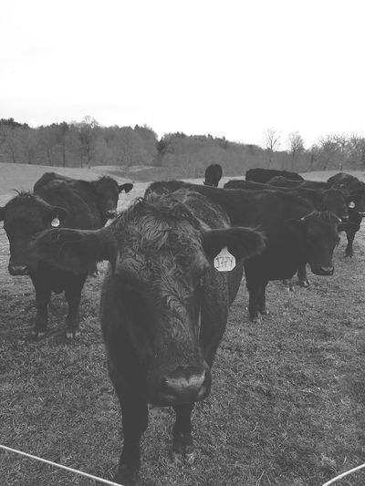 Cows With A Faded Look American Bison Group Of Animals Animal Themes Cattle Animal Migration Herd Livestock Tag Farm Animal Cow