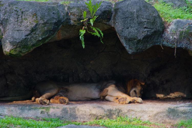 ヒルネライオン Mammal