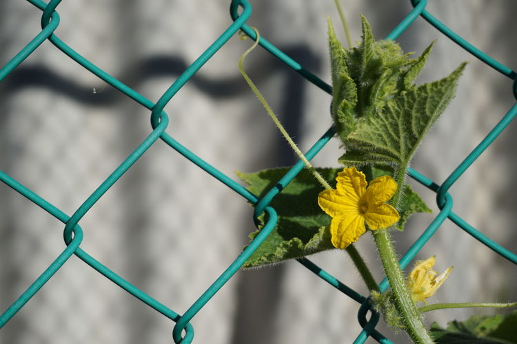Close-up of yellow flowers on chainlink fence