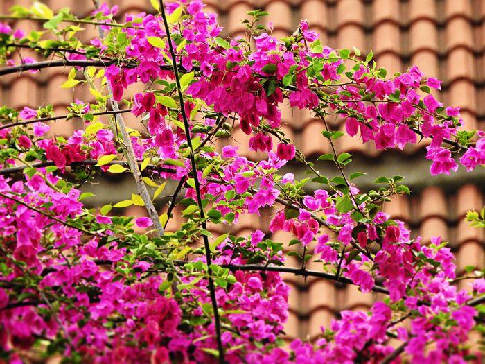 Pink bougainvillea blooming against tiled roof