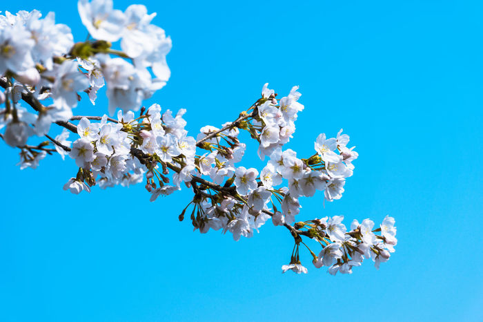 DOREMIIMAGES Cherry Blossom Chrry Blossoms Nature Tree Beauty In Nature Blooming Blossom Blossoms  Blue Blue Sky Branch Brighyt Clear Sky Close-up Flower In Bloom Low Angle View Nature No People Outdoors Pink Color Spring Springtime Tree White Color