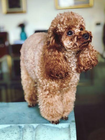 Poodle 🐩 Puppy