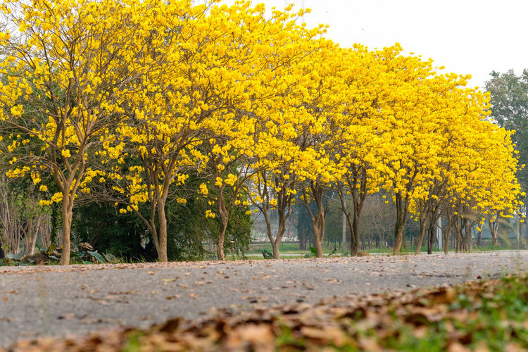 Tree Plant Yellow Autumn Beauty In Nature Nature Growth Change Tranquility Tranquil Scene Land Day No People Scenics - Nature Landscape Outdoors Road Environment Field Non-urban Scene Surface Level