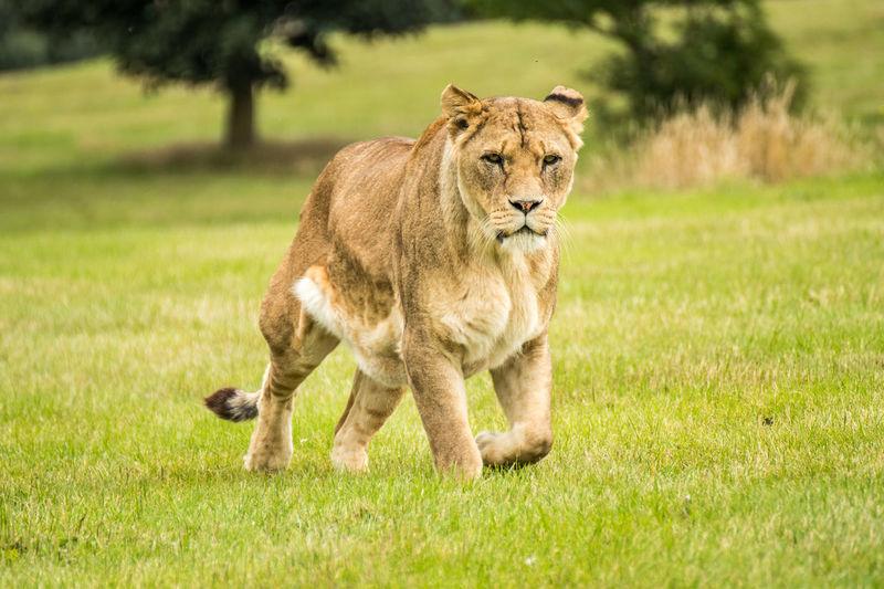 Portrait of lion on field
