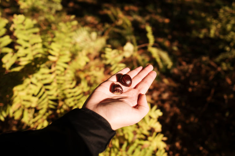 Cropped Image Of Hand Holding Chestnuts Over Plants