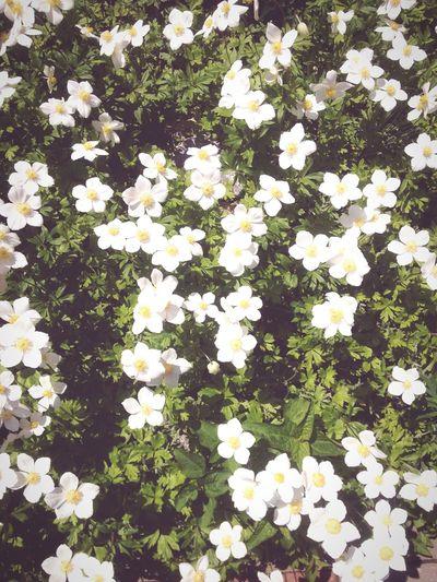 White Flowers Blossoms  Flowers Mornning